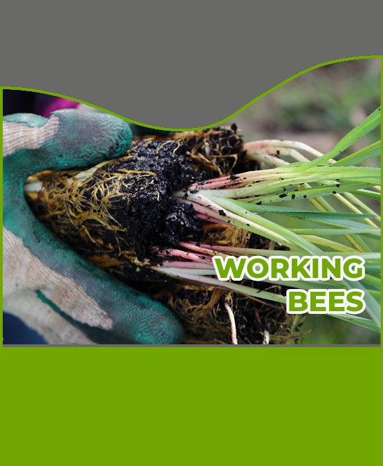 Lomandra Planting Working Bee 2020